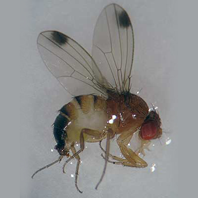 spotted wing fruit fly