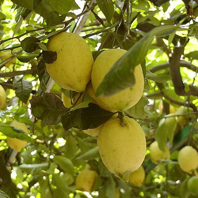 Jardín Q & A: Cambiar la cantidad de fertilizantes como árbol de cítricos edades