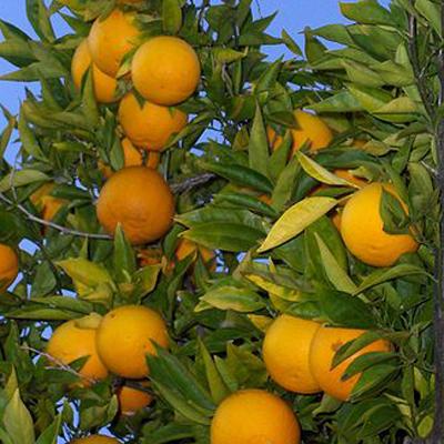 Poda y fertilización de árboles cítricos en el Noroeste de la Florida