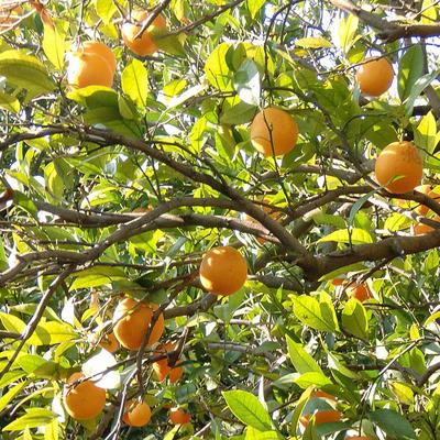 Consejos para árboles sanos de cítricos - The San Diego Union-Tribune
