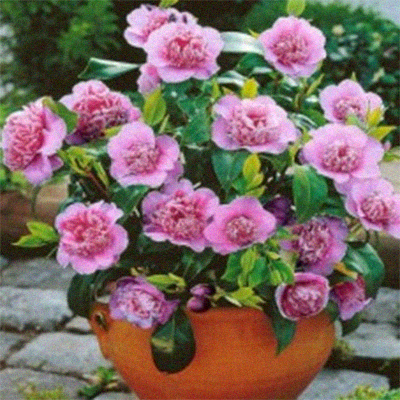 evergreen camellias